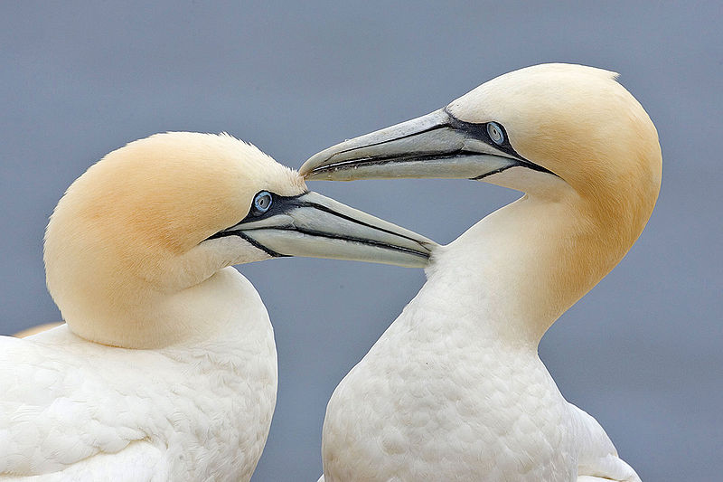 800px-Two_Gannets_edit