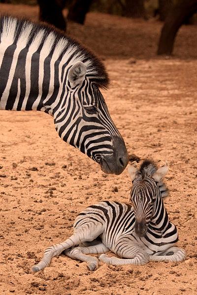 400px-Zebra-de-planicie_Equus-burchelli_fotografia-4338